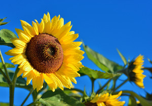 Sunflowers Close-up Against Dark Blue Sky