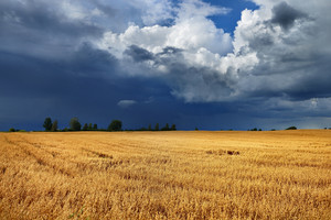 Cereal Field Against Dark Stormy Clouds