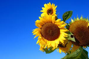 Sunflowers Close-up Against Dark Blue Sky