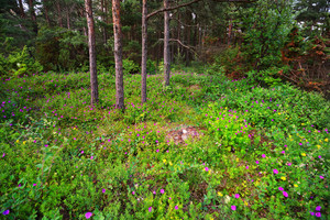Forest On Hiumaa Island