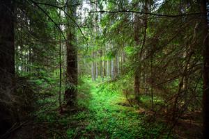 Dark Pine Forest Scene