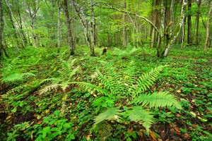 Ferns In A Forest In Latvia