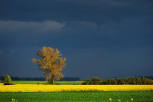 Rapeseed Field In Poland