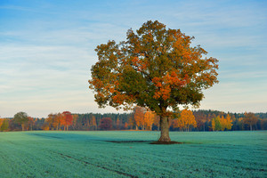 Colorful Lonely Tree In The Field In Autumn
