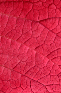 Pink Leaf Close-up