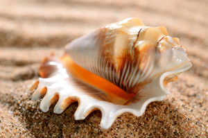 Sea Shell On The Sandy Beach
