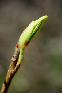 Green Tree Bud Close-up In Spring