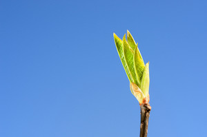 Green Tree Bud Close-up Against Blue Sky In Spring