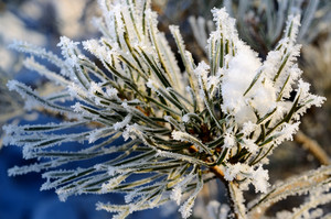 Pine Tree Covered With Frost