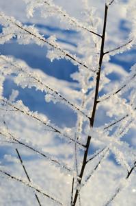 Frost On Plants In Winter