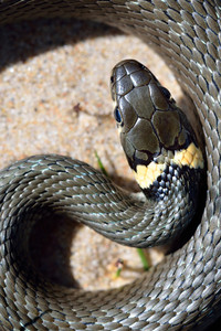 Grass Snake Close-up