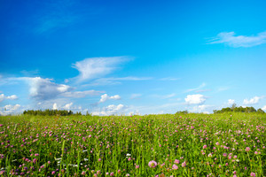 Field with meadow flowers