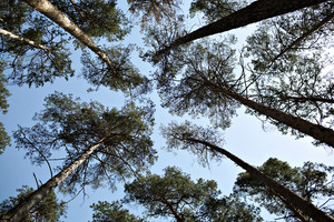 Lofty pine trees