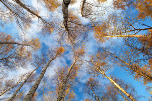 Birch trees. low angle.