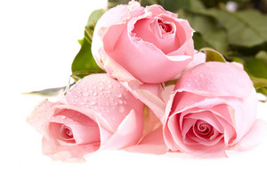 Three pink roses with water drops