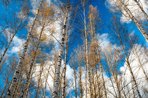 Birch trees against the blue sky