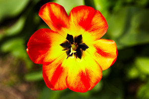Red-yellow tulip