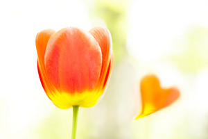 Tulip and heart
