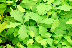 Green Leaves In Group
