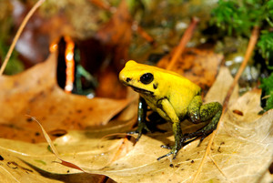 Colorful Yellow Frog Fillobates Terribilis