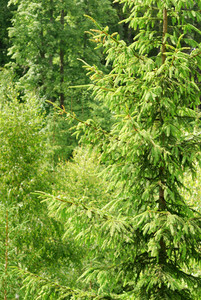 Pine Tree Close-up