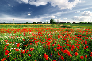 A Poppy Field And A Country House In Latvia
