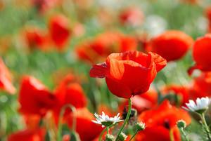 A Close-up Of A Poppy Field. Latvia