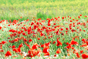 A Poppy Field In Latvia