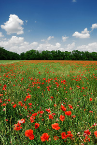 A Poppy Field In Bright Sunny Day. Krasnodar