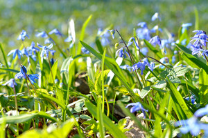 Siberian Squill Scilla Siberica Close-up