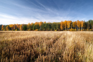 Cereal Field In Fall Season. Latvia