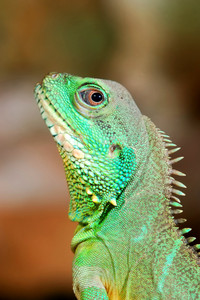 Colorful Green Lizard Close-up