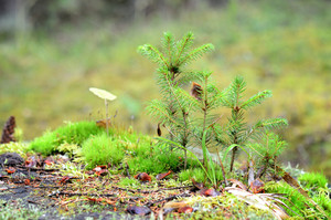 Little Pine Trees On A Tree Stump