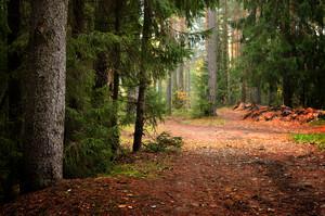 어두운 소나무 숲 장면