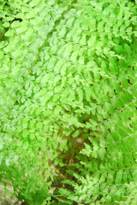 Fern Close-up Background