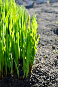 Green Grass Close-up In Spring