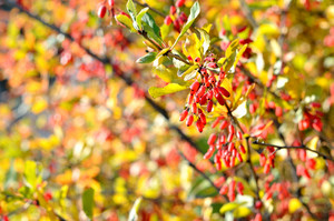 Barberry Close-up In Autumn