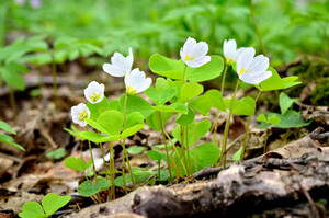 Clover Flowers Close-up In The Forest