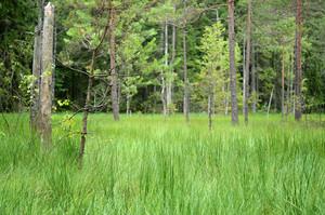 Forest Bog Scene