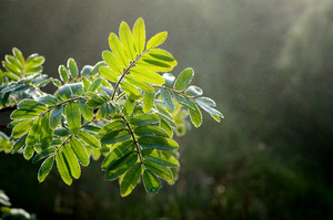 Tree Leaves Close-up In The Fog