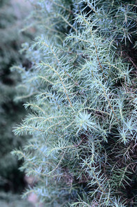Juniper Close-up