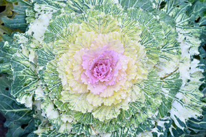 Ornamental Decorative Cabbage Close-up