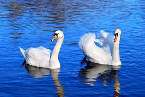 A Couple Of Swans In The Blue Lake Water