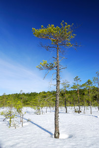 Lonely Pine Tree And Winter Forest Lanscape