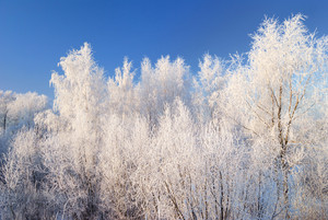 Winter Landscape With Hoar Frost Covered Trees Against Blue Sky