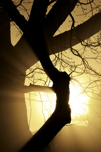 Close-up Of A Tree In The Fog With Sunbeams