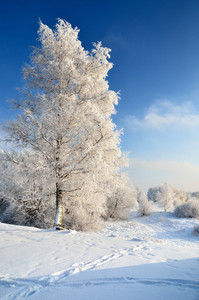 Frost On Trees In Winter