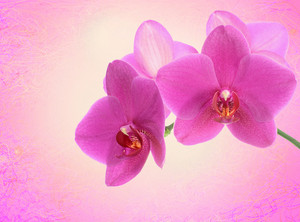 Dark Pink Orchid Flower Close-up Isolated On White