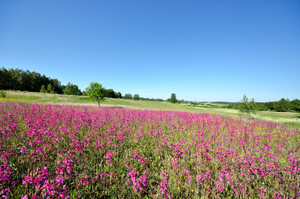 Classic Rural Landscape. Flower Field Against Blue Sky