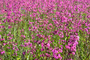 Flower Field Close-up